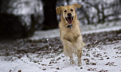 Golden Retriever in the Snow (musicalmatt) Tags: christmas morning winter dog snow motion cold field animal speed happy gold golden countryside frozen jumping movement energy frost december day dynamic action russia transport january fast happiness running run cotswolds retriever gloucestershire enjoy blonde pace cheltenham bounce inaction bounding accelerate energetic