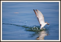Fishing Birds of Ashtamudi (praveenks.in) Tags: keralabackwaters fishingbird ashtamudikayal birdsfishing keralabirds praveenksin ashtamudibackwaters fishingbirdsofashtamudi
