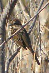sparrow in the branches