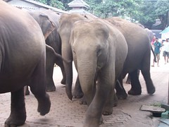 They bath twice a day to keep cool (kimlenoregood) Tags: from elephant for cool bath day walk going orphanage come keep they elephants twice member their youngest the