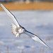 Snowy Owl Flight - Alberta Prairies
