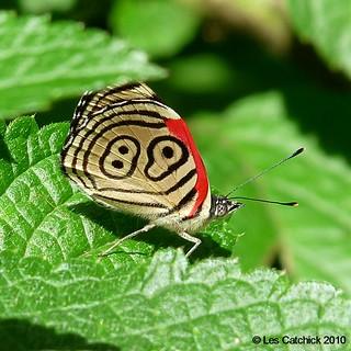 Wild butterfly! (Diaethria clymena marchali, Common name: Eighty-eight)