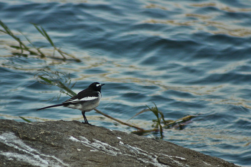 Pied Wagtail spotted at Manchinabele, searching for early morning breakfast.