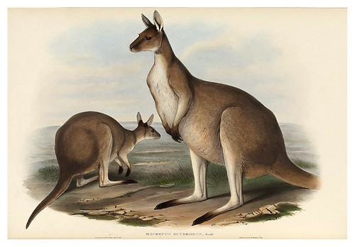 007-Gran Canguro del oeste australiano-The mammals of Australia 1863-John Gould- National Library of Australia Digital Collections