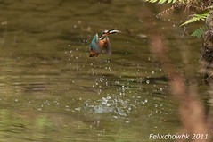 20110113_032 (felixcat2006) Tags: bird nature birds nikon wildlife 300mm kingfisher d300s
