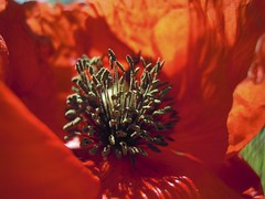 DSCN0156 (mandarinegirl_) Tags: flower papavero androceo antere
