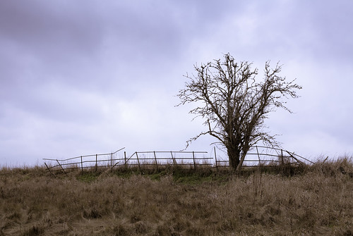 Lonely tree, with friend the broken fence