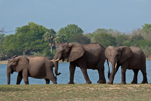 Majestetisk elefantflokk