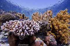 Underwater Coral Garden (InShot Images) Tags: ocean sea plant nature water animal coral sand marine underwater redsea egypt diving scubadiving alive colourful delicate reef fragile ecosystem coralreef marinelife underwaterphotography softcoral marsashagra hardcoral canon50d