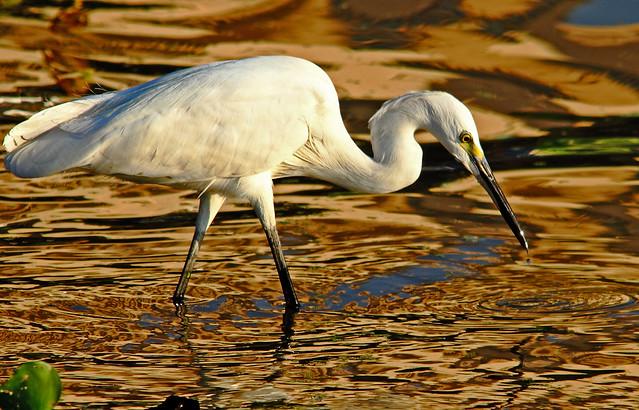 2011_01_18_011487 Egret with drop crop