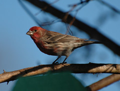 Male House Finch in the evening light (fazer53) Tags: bird nature birds nikon d70 wildlife northcarolina finch carolina housefinch asheboro d70nikon randolphcounty archdale 70300mmvr