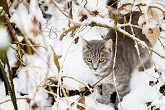 I see you kitty! (Kidzmom2009) Tags: winter cold animals cat grey kitten sweet innocent curious inthewoods goldeyes gettyimageswant kidzmom2009 gettyimageswants gettywants kfsphotography hidingbehindbranches