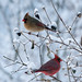 perfect pair (nosha) Tags: new winter usa snow cold male bird beautiful beauty birds female photography newjersey cardinal nj jersey avian snowscape lightroom 2011 nosha nikond40 28300mmf3556 penningtonnewjerseyusa