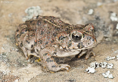 Western Toad. (Chad M. Lane) Tags: california macro animals nikon sigma toads wideangle frogs 20mm amphibians reptiles herping 90mmtamron