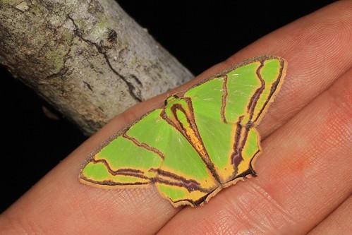 Agathia diplochorda (Geometridae: Geometrinae)