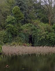 An Opening (Bricheno) Tags: park reeds scotland pond ivy escocia szkocja schottland crookston scozia cosse rosshall  esccia   bricheno scoia