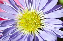 Macro (Ray Horwath) Tags: flowers macro floral illinois nikon tamron horwath tamronlens tamron90mmmacrolens homerglen d700 rayhorwath tamron90mmf28spdimacro11vcusdlens
