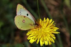 Colias alfacariensis (Hugo von Schreck) Tags: coliasalfacariensis hugovonschreck butterfly schmetterling falter outdoor insekt insect makro macro hufeisenkleegelbling sdlicheheufalter canoneos5dsr tamron28300mmf3563divcpzda010 onlythebestofnature