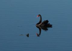 Black Swan-9a (sknight56) Tags: swan blackswan canon minnesota bloomington water nature