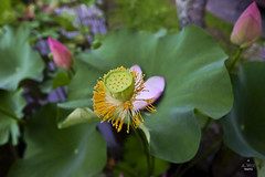 Lotus seed (A. Wee) Tags: ubud bali  indonesia  bebek tepisawah restaurant  lotus