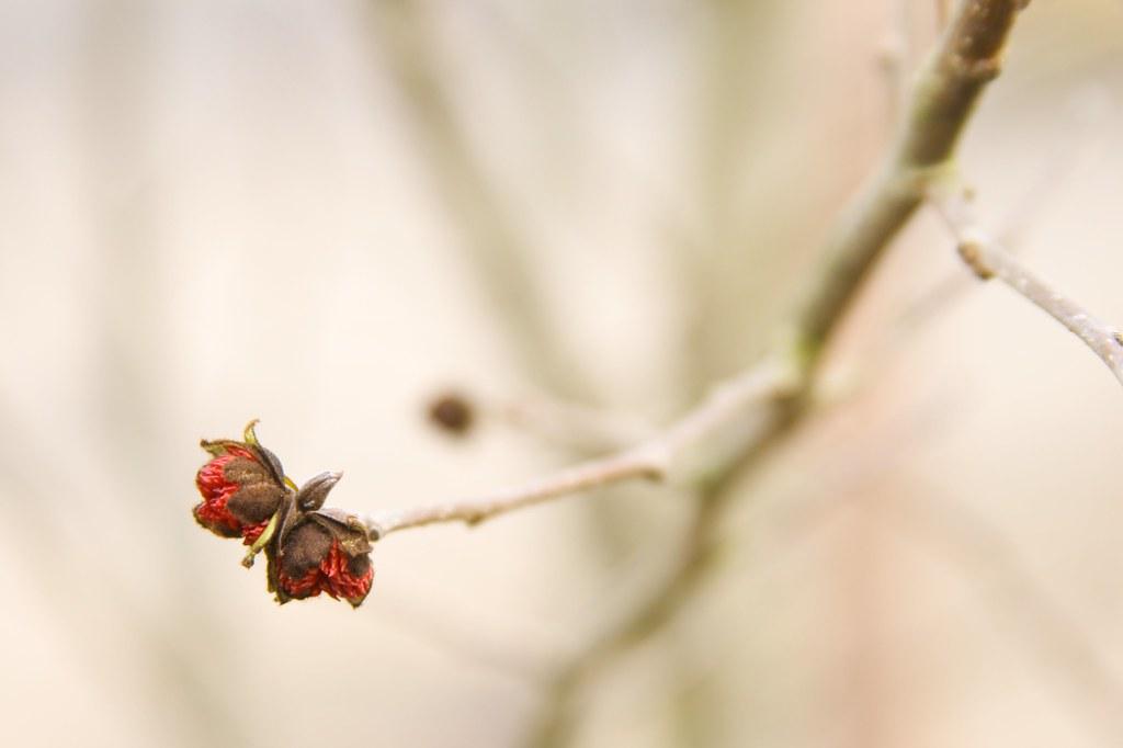 Parrotia Persica bud 1