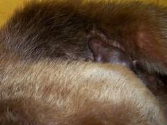 Baby tamandua nose