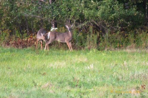 White-tailed buck & doe   03.jpg