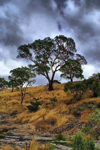 Lancefield Tree