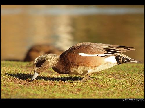 American Wigeon (Anas americana)