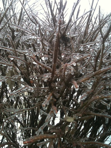 Ice-coated branches