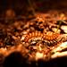 Centipedal