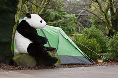2011-02-03-13h58m12.272P7751 (A.J. Haverkamp) Tags: zoo rotterdam blijdorp panda misc dierentuin diergaardeblijdorp canonef70200mmf28lisusmlens httpwwwdiergaardeblijdorpnl