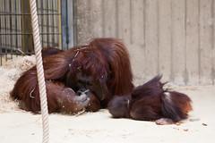 2011-02-05-13h57m33.272P8158 (A.J. Haverkamp) Tags: zoo thenetherlands orangutan bako rhenen dierentuin orangoetan ouwehandsdierenparkrhenen canonef70200mmf28lisusmlens httpwwwouwehandnl pobrhenenthenetherlands dob21031996