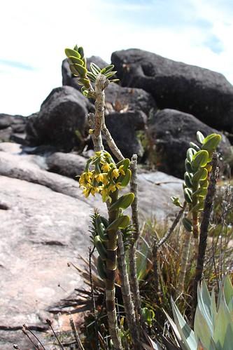 Epidendrum ulei (Orchidaceae)