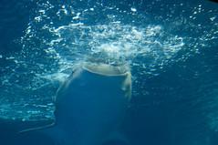 ジンベエザメ, 沖縄美ら海水族館