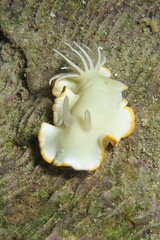 Ardeadoris egretta (BJSmit) Tags: philippines scuba diving nudibranch 2010 seaslug g11 underwaterphotography nightdive naaktslak duiken 2011 filipijnen inon nachtduik ardeadoris ardeadorisegretta zeenaaktslak z240 inonz240 smitbj wpdc34