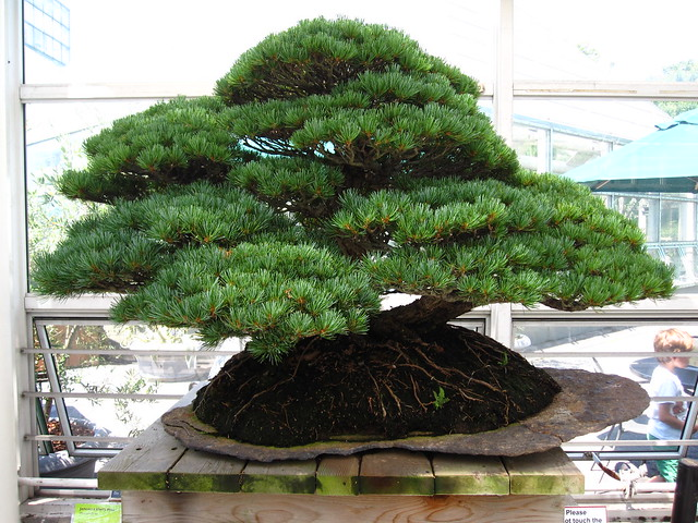Japanese &#119;&#104;&#105;&#108;&#101; pine (<em>Pinus parviflora</em>) in raft style. Photo by Rebecca Bullene.&#8221; /></a></p> <div>Japanese &#119;&#104;&#105;&#108;&#101; pine (<em>Pinus parviflora</em>) &#105;&#110; raft style. Photo &#98;&#121; Rebecca Bullene.</div> </div> </div> </div> </div> </div> <div> <div><img src=