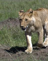 Lion 037 (joannehedger) Tags: africa kenya masaimara pantheraleo kicheche marshpride joannehedger httpjoannehedgerblogspotcouk