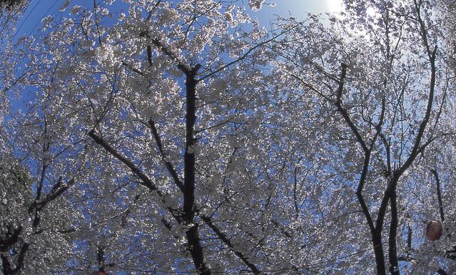 桜と空のフリー写真素材