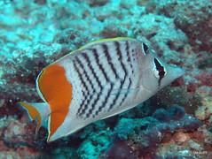 Seychelles butterflyfish - Maldives