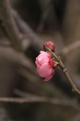 ( /  / POHAN) Tags: pink flower plum bud