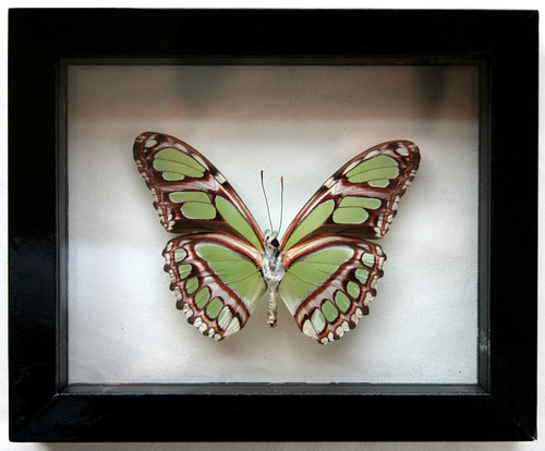 Real Green Philaethria Dido Framed Butterfly Art in Black - a photo ...