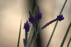 lavender flowers macro