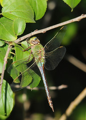 Common Green Darner (Anax junius) 19 (DrLensCap) Tags: park chicago green robert nature insect fly illinois village dragon dragonfly north center il common kramer darner anax junius
