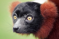 Red Ruffed Lemur (Jonne Seijdel) Tags: red portrait nature face animal closeup canon mammal monkey eyes lemur 7d madagascar rubra seijdel varencia