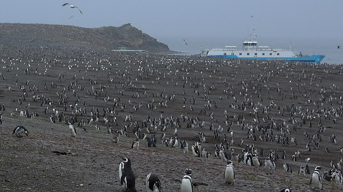 Isla Magdalena Magellanic Penguin colony