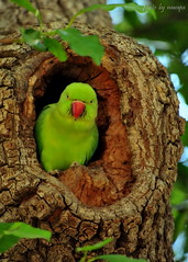 Indian Ringneck (nawapa) Tags: india bird asia indian parakeet ringneck nawapa