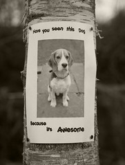 Bruce poster (Heath James) Tags: dog beagle canon poster lost bruce 5d 24105mmlis