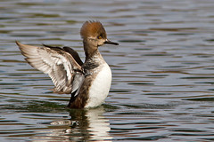 IMG_4738 Female Hooded Merganser (lois manowitz) Tags: arizona tucson ducks reidpark