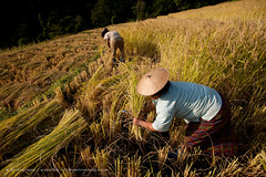 Rice harvesting in east Bhutan (Alex Treadway) Tags: food woman man male green nature smile field grass hat smiling female standing laughing outdoors happy photography holding asia rice bhutan terrace cut buddhist traditional farming grain working hard harvest grow culture straw sunny buddhism bluesky hills clear crop cutting land labour environment produce growing farmer agriculture yield himalaya eastern twopeople naturalworld himalayas scoop collecting bhutanese indigenous frontview harvesting gather lookingout paddie cultivate swampgrass reaping colorimage 3040years traveldestination colourimage 4050years